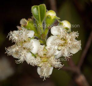 White flowers of Lophostemon confertus syn Tristania conferta , brush box tree, Queensland box