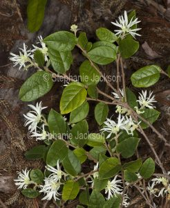 Creamy white flowers and green leaves of Loropetalum chinense 'Blonde ''n Gorgeous', a drought tolerant evergreen shrub.