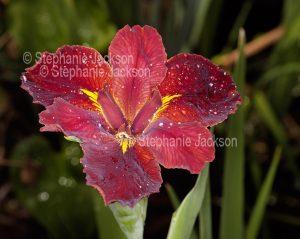 Dark red flower of Louisiana iris with raindrops on petals
