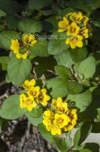 Yellow flowers and green leaves of Lysimachia congestiflora, commonly known as Creeping Jenny.