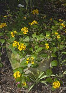 Lysimachia congestiflora, commonly known as Creeping Jenny.