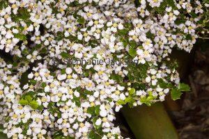 Perfumed white flowers of drought tolerant shrub Malphigia coccigera, Singapore Holly