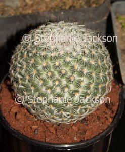 Mammillaria fauxiana elegans, a cactus plant growing in a pot.