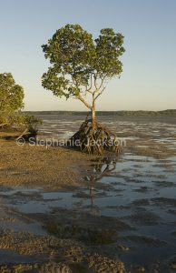 Solitary mangrove tree growing on mud flats / beach at Inskip Point, Queensland Australia