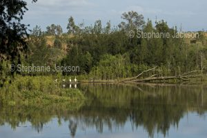 The Mary River at Tiaro in Queensland Australia, with pelicans on the far bank.
