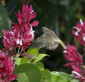 Vivid red flowers / bracts of evergreen shrub, Megaskepasma erythrochlamys. Venezuelan Red Cloak., with honeyeater in flight against dark green background