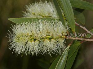 Creamy white flower and green leaves of Melaleuca quinquenervia, an Australian native shrub.