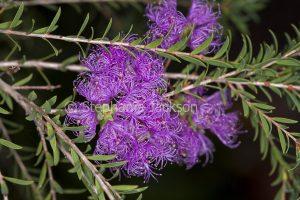 Mauve / purple flowers and small green leaves of Melaleuca thymifolia, Australian native shrub on dark background
