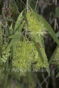 Flowers of Melaleuca viridiflora, green flowered variety.