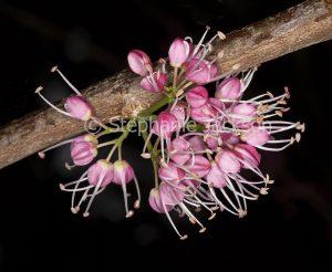 Cluster of strange pink flowers of Australian native Corkwood Tree, Melicope elleryana syn. Euodia elleryana on black background