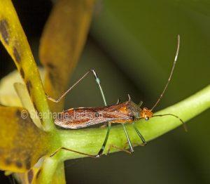 Mirid beetle in Queensland Australia