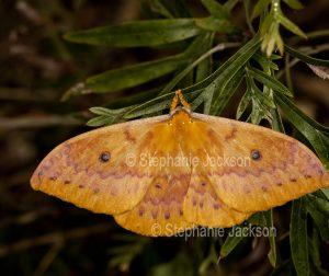 Orange moth, Neodiphthera excavus syn. Opodiphthera excavus on grevillea leaf in Queensland Australia