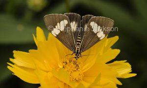 Webworm moth, Spoladea recurvalis, on Coreopsis flower in Queensland Australia