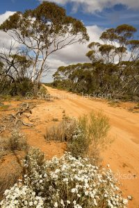 Track / road lined with mallee bushland and wildflowers in Murray Sunset National Park in outback Victoria Australia
