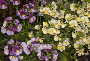 Yellow and purple flowers of Nemesia fruticans 'Fruit Tingle'