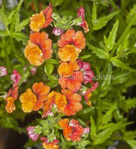 Orange flowers of Nemesia fruticans, Sunsatia cultivar