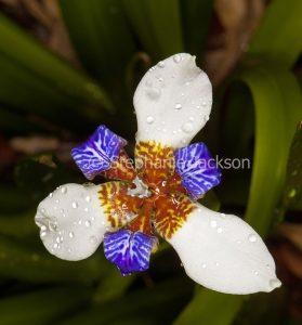 Blue and white flower of Neomarica gracilis, Walking Iris
