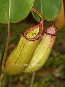 Nepenthes sibuyanensis x truncata, Pitcher Plant, a carnivorous plant.