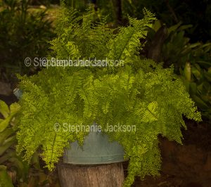 Recycling, Nephrolepsis fern growing in a container, an old watering can