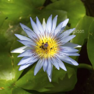 Blue flower of waterlily, Nymphaea daubeniana, with Australian native bees collecting polle