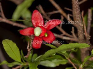Red bracts and green leaves of Ochna serrulata, Mickey Mouse / Bird's Eye Bush, a weed species.