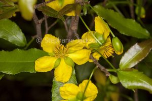 Yellow flowers and green leaves of Ochna serrulata, Mickey Mouse / Bird's Eye Bush, a weed species.