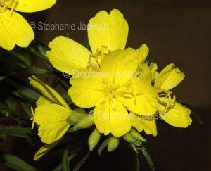 Yellow flowers of Oenanthera 'Lemon drop', Evening Primrose.