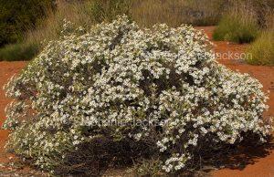 Australian wildflowers, Olearia pimeleoides, Mallee Daisy Bush, at Port Augusta in South Australia.