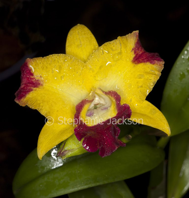 Yellow and red flower of orchid Rhyncattleanthe 'Chunfong Smile' - Rhyncolaelia x Cattleya x Guarianthe on dark background