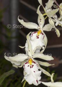 White flowers of orchid Bealiara Pacific Pastel 'Mauna Loa' on dark background