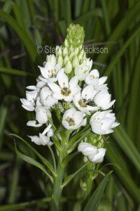 White flowers of Ornithogalum thyrsoides 'Chesapeake Snowflake', Chincherinchee / Star of Bethlehem.