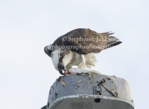 Eastern Osprey on a lamp post and eating a fish at Hervey Bay in Queensland Australia.