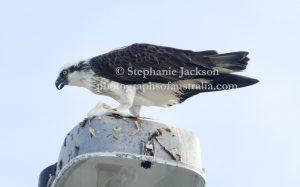 Eastern Osprey feeding on fish on lamp post at Hervey Bay