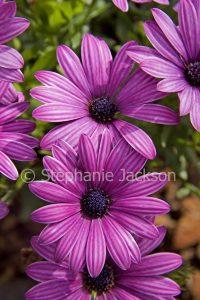 Purple flowers of Osteospermum ecklonis, Marguerite Daisy.