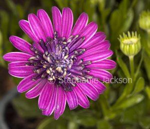 Purple double flower of Osteospermum ecklonis, Marguerite Daisy.