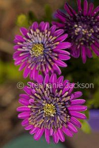 Purple double flowers of Osteospermum ecklonis, Marguerite Daisy.