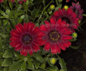 Deep dark red flowers of Osteospermum ecklonis 'Flame', Marguerite Daisy.