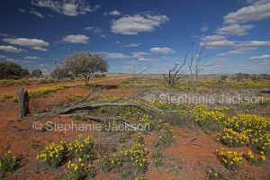 Australian outback landscape with red soil carpetted with yellow wildflowers in Sturt National Park, NSW Australia