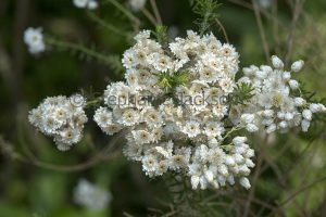 Cluster of white flowers of Ozothamnus diosmifolia, Riceflower, a drought tolerant Australian native shrub.