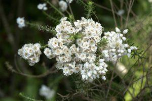 Australian wildflowers, Ozothamnus diosmifolia, rice flowers, in Queensland Australia.