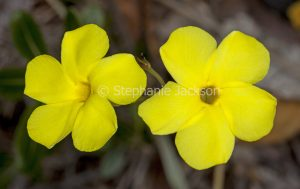 Vivid yellow flowers of spiny drought tolerant succulent plant Pachypodium densiflorum.