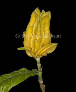 Bright yellow flower bracts of Pachystachys lutea, Golden Candles, on black background