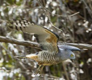 Pacific Baza / Crested Hawk, Aviceda subcristata, in flight in Queensland Australia.