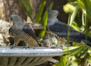 Pair of Pacific Bazas / Crested Hawks, Aviceda subcristata, at a garden bird bath in Queensland Australia.