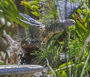 Pacific Baza / Crested Hawk, Aviceda subcristata, raptor, Australian bird of prey,in flight after bathing in a bird bath in the photographer's garden in Queensland Australia.