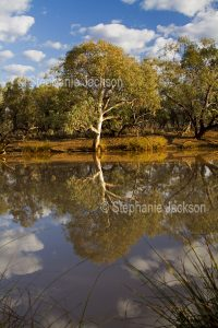 Eucalyptus tree reflected in water of Paroo River in Currawinya National Park in outback Queensland Australia