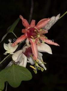Flowers of climber, native passionflower, Passiflora aurantia, in Queensland Australia.