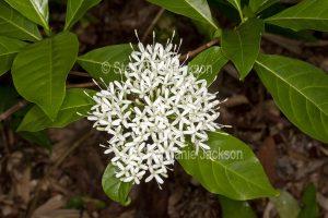 White perfumed flowers and glossy green leaves of Pavetta australiensis, Australian native shrub, Butterfly Bush.