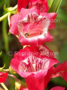 Pink / red flowers of Penstemon hartwegii 'Picotee' on light green background