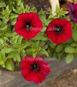 Bright red flowers of Petchoa, a new genus created by crossing a Petunia with a Calibrachoa.